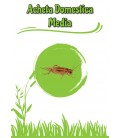 Acheta Domestica Media